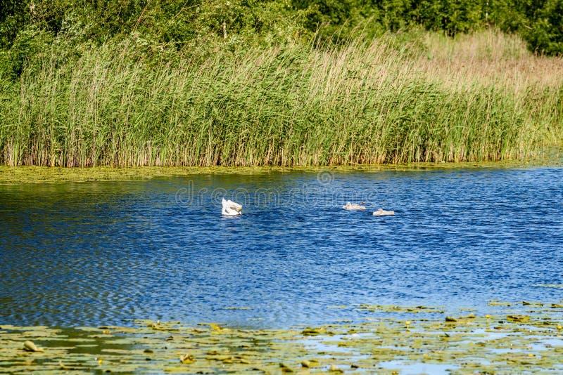 Les réflexions dans le lac calme arrosent avec des nénuphars et des cygnes images libres de droits