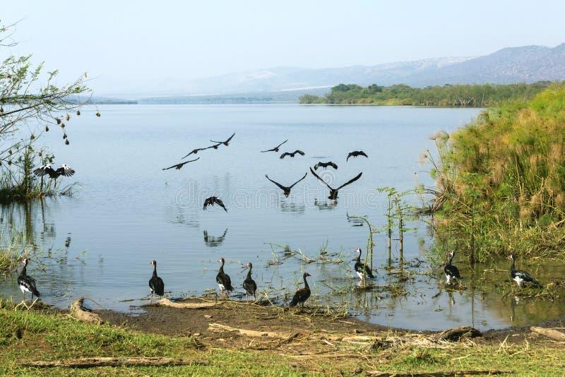 Les réflexions des oiseaux sur le lac image stock