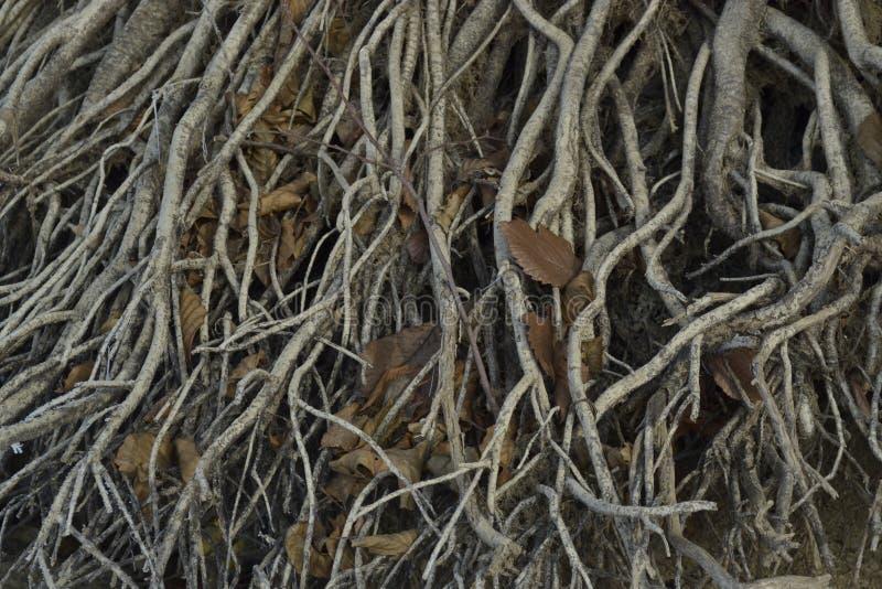 Les racines abondamment copsy de l'arbre sont caseb photo stock