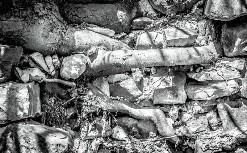 Les racines d'arbre poussent de grandes pierres grises de throgh images stock