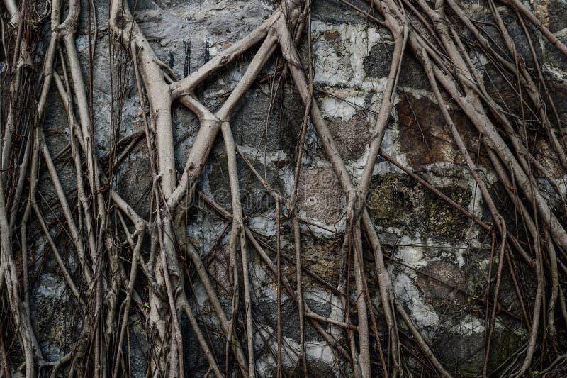 Les racines d'arbre sur le mur photo libre de droits