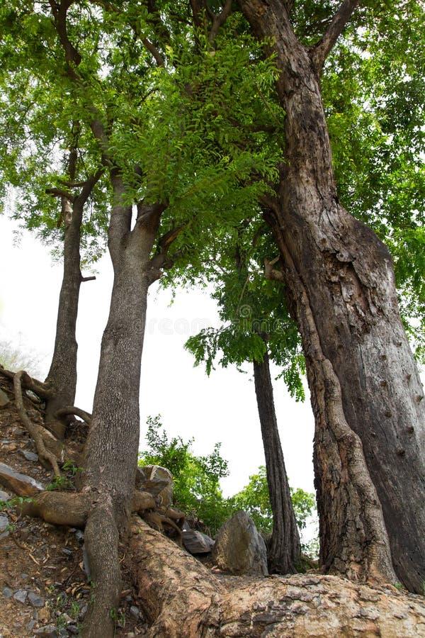 Les racines d'arbres dont photo libre de droits