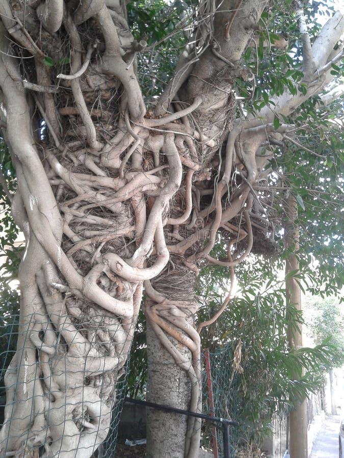 Les racines de deux banians image stock