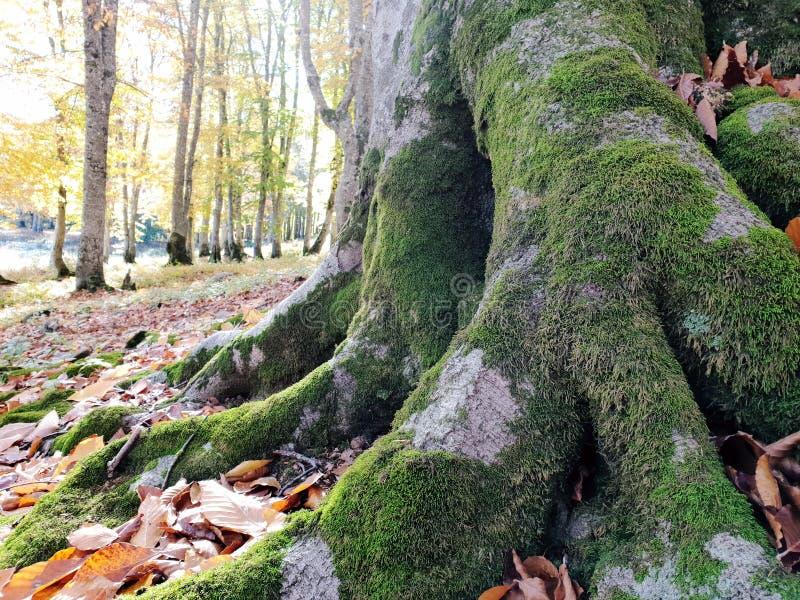 Les racines de l'arbre avec le jaune sèchent des feuilles photographie stock