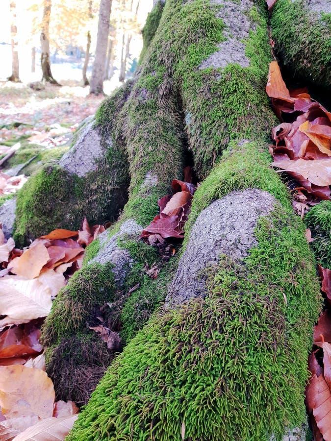 Les racines de l'arbre avec le jaune sèchent des feuilles images stock
