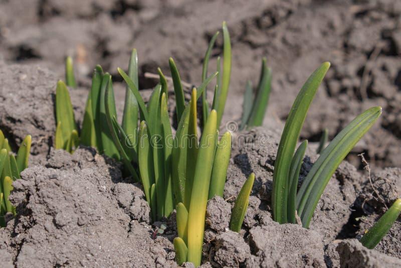 Les racines des fleurs germent avec zamly Les fleurs se développent au printemps image stock