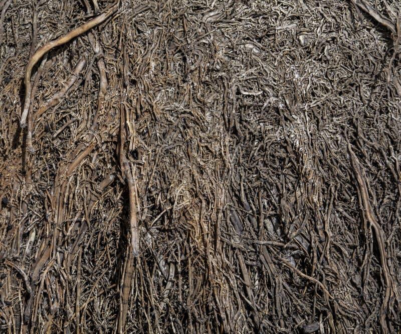 Les racines naturelles des arbres souterraines sont isolées par déshydratation, fermées photos libres de droits