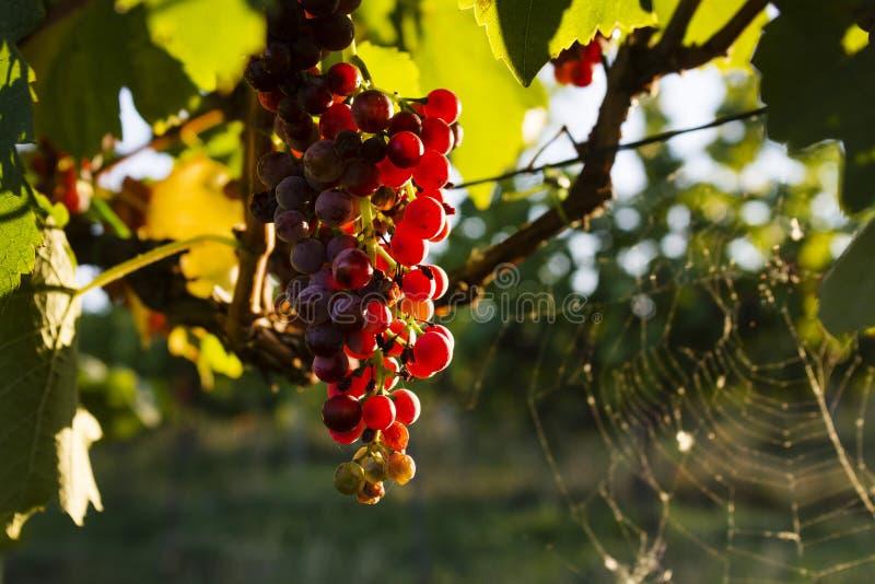 Les raisins dans le vignoble image libre de droits