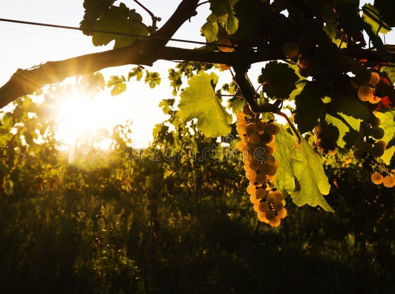 Les raisins dans le vignoble photos stock