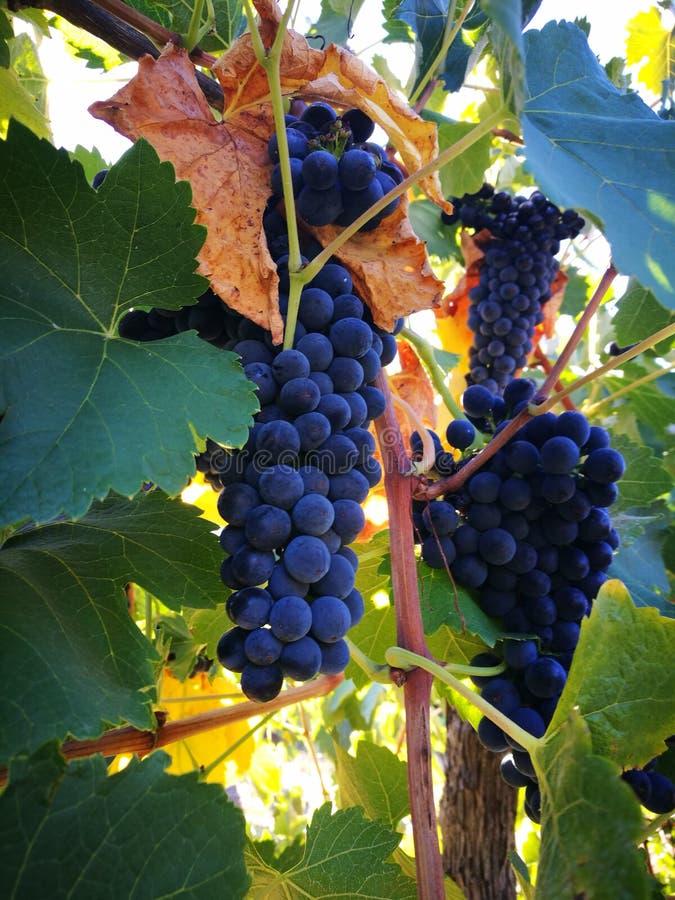 Les raisins doux image libre de droits