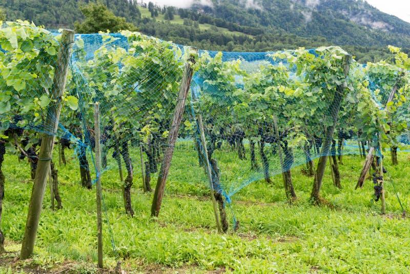 Les raisins mûrs de pinot noir accrochant sur des vignes ont couvert b un filet bleu photographie stock