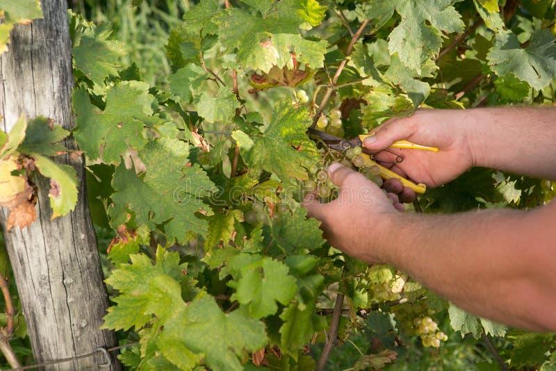 Les raisins mûrs, préparent pour la récolte d'automne photo libre de droits