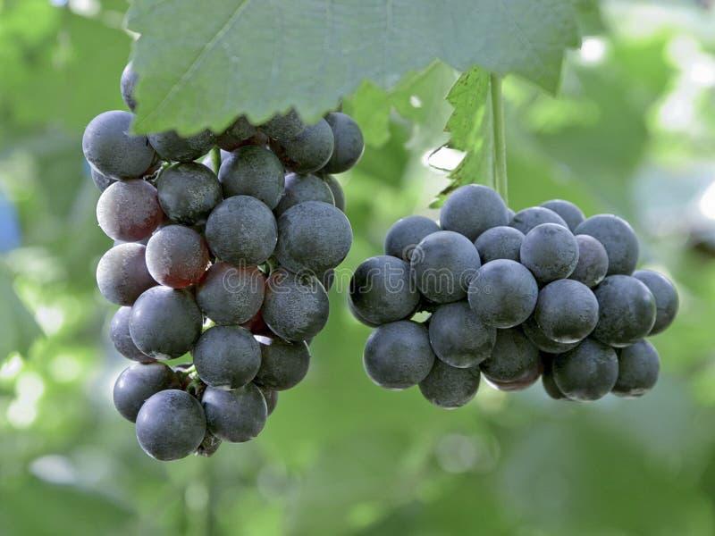 Les raisins portent des fruits en cour d'établissement vinicole images stock