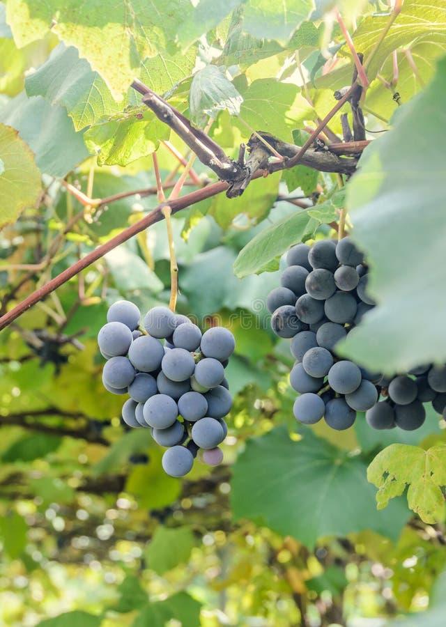 Les raisins rouge foncé et pourpres portent des fruits coup, feuilles de vert Vitis vinifera (vigne) au soleil, fin  images stock