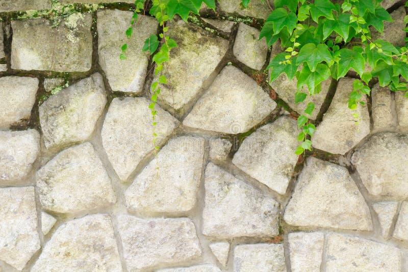 Les raisins sauvages ont couvert le mur et ses branches accrochaient vers le bas image libre de droits