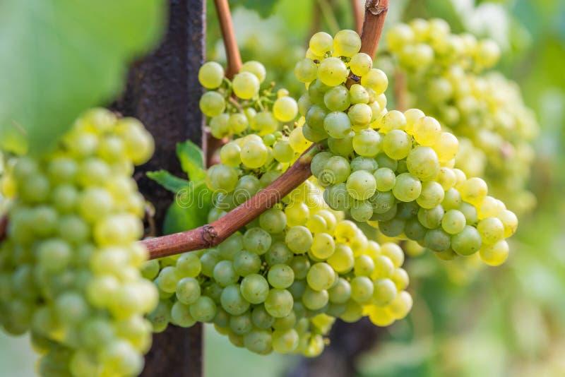 Les raisins Silvaner se développent et mûrissent photographie stock