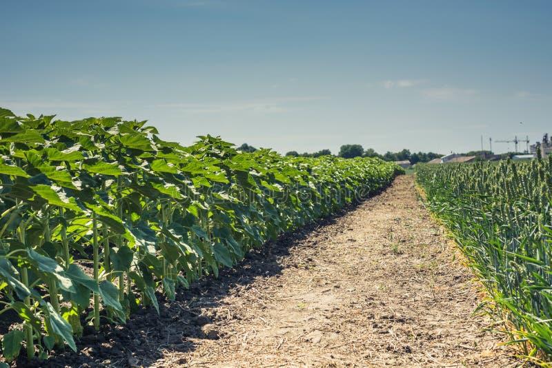 Les rangées de jeunes, verts, puissants tournesols, nettoient des maladies, mauvaises herbes, et des insectes, contre le ciel photographie stock libre de droits