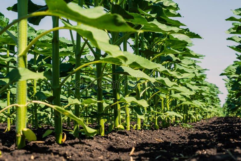 Les rangées de jeunes, verts, puissants tournesols, nettoient des maladies, mauvaises herbes, et des insectes, contre le ciel photo stock
