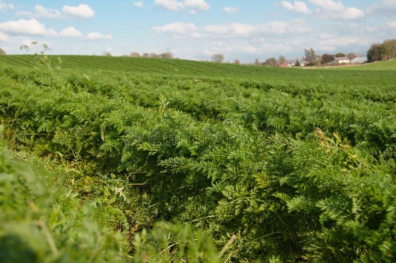 Download Les Rangées De La Carotte Grandissante Et Du Ciel Photo stock - Image du fruit, légume: 45358912
