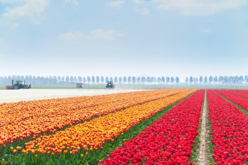 Les rangées de la tulipe met en place avec des tracteurs sur le fond photo stock