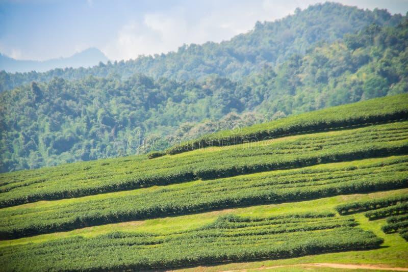 Les rangées des arbres de thé dans la vallée au thé chinois cultivent Beau champ de thé vert dans la vallée sous le ciel bleu et  image libre de droits