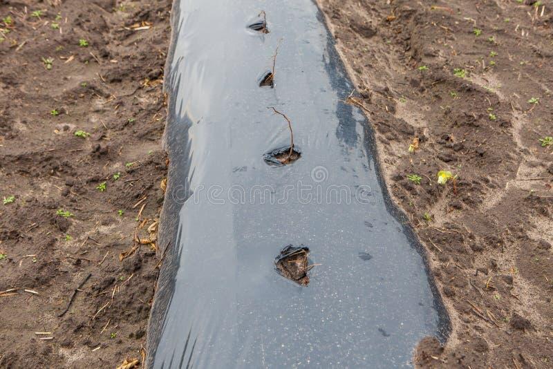 Les rangées des jeunes arbres de framboise plantés sur l'agriculture cultivent images stock