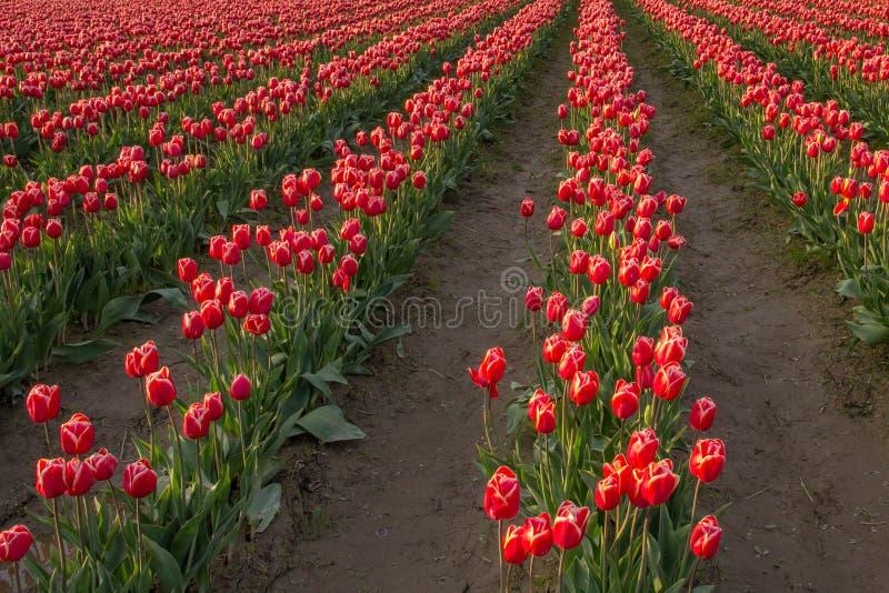Les rangées des tulipes rouges et blanches se développent dans le domaine images libres de droits