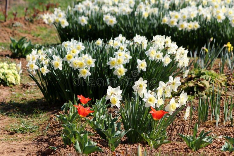 Les rangées des usines fleurissantes herbacées éternelles blanches de narcisse ou de jonquille mélangées aux tulipes de floraison photos libres de droits
