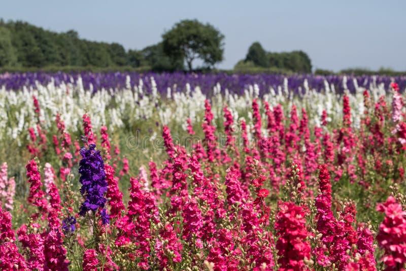 Les rangées du delphinium coloré fleurit en mèche, Pershore, Worcestershire, R-U Les pétales sont utilisés pour faire des confett photographie stock libre de droits