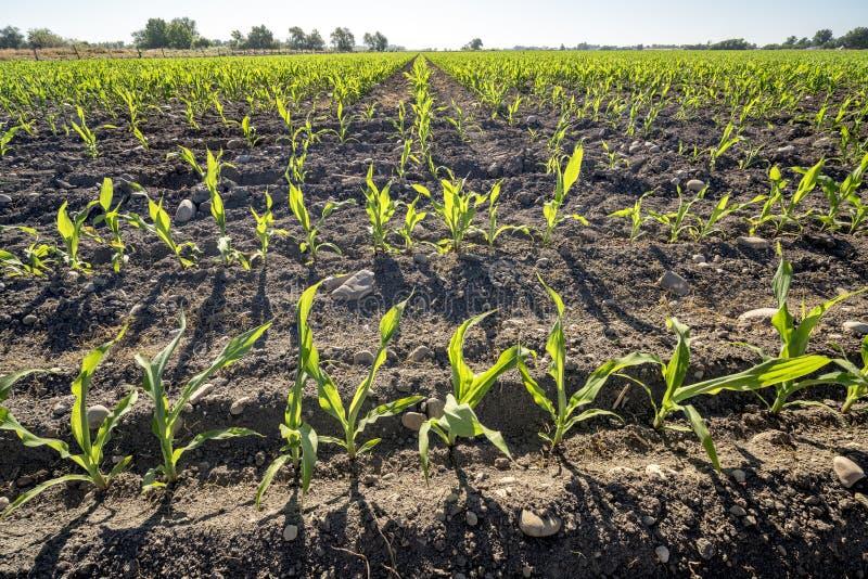 Les rangées du jeune maïs plantées sur l'Idaho cultivent photo libre de droits