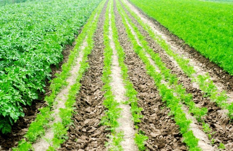 Les rangées végétales dans le domaine, le paysage de l'agriculture, les pommes de terre vertes et les carottes se développent dan photo stock