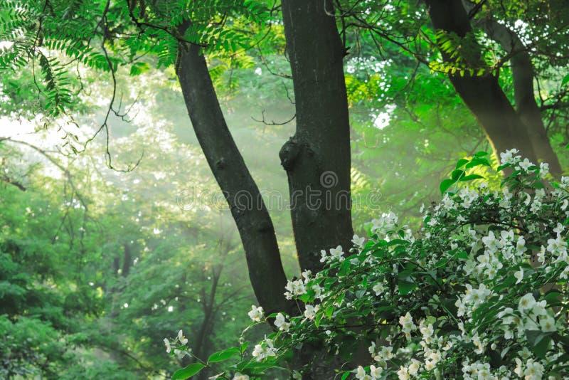 Les rayons de soleil versent par des arbres pendant le matin image libre de droits