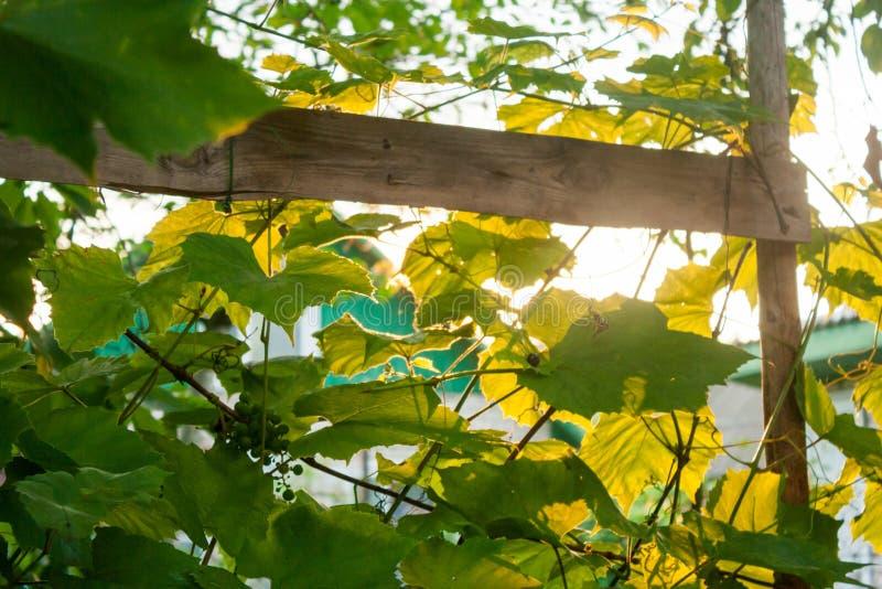 Les rayons oranges du soleil de coucher du soleil font leur voie par les branches de la vigne et des grandes feuilles de raisin image stock