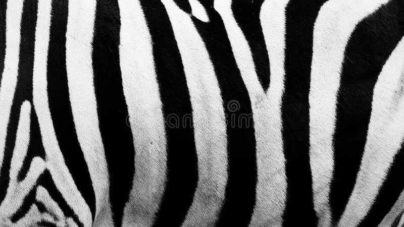 Les rayures de zèbre ont cliqué sur dans un zoo ouvert photos libres de droits
