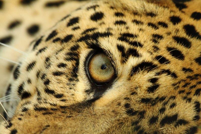 Les regards fixes de léopard images libres de droits