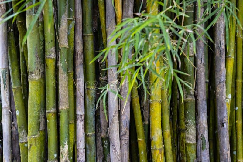 Les repaires en bambou verdissent le fond de forêt image stock