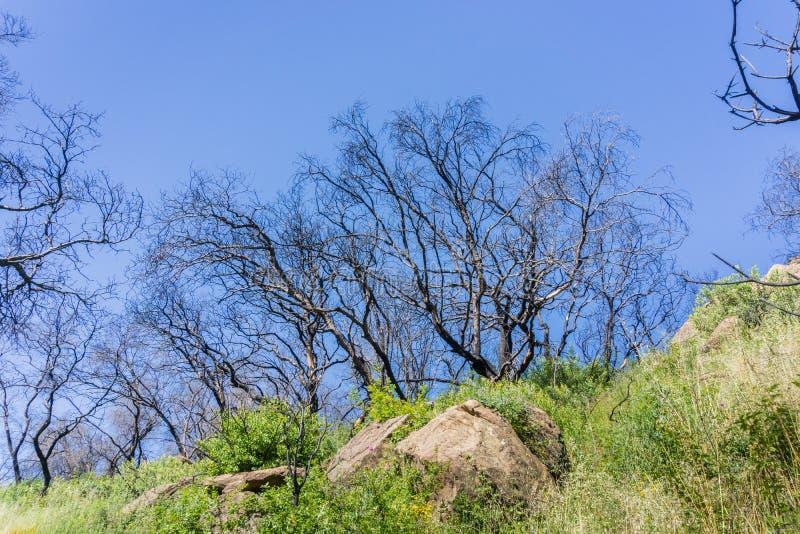 Les restes des arbres brûlés sur un fond de ciel bleu, canyon froid de Stebbins, Napa Valley, la Californie photographie stock libre de droits