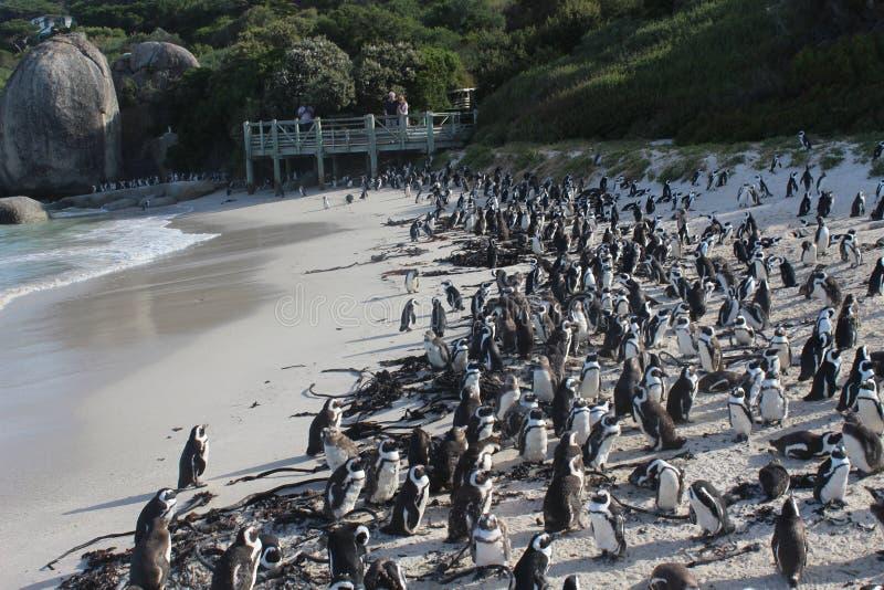 Les rochers échouent - une plage unique de pingouin dans des sud Afric de Cape Town photo libre de droits