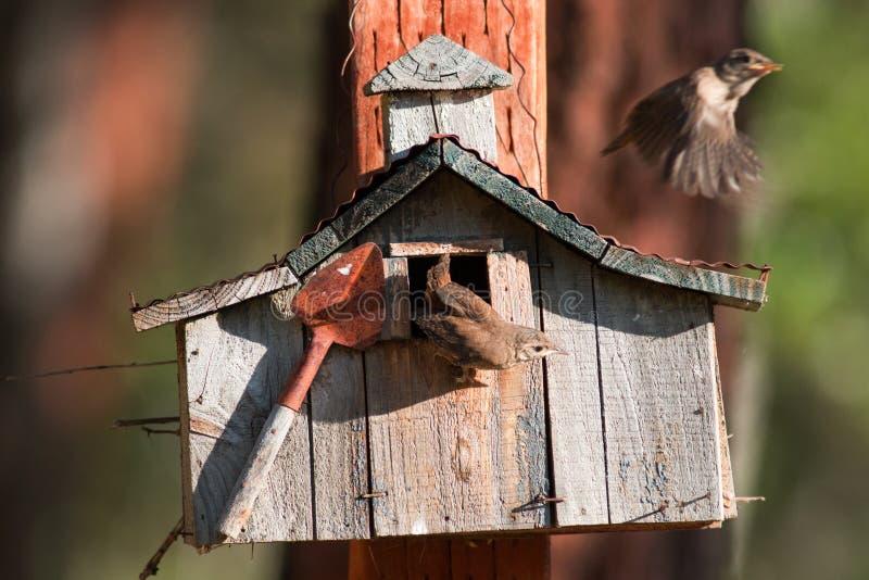 Les roitelets de Chambre font leur premier vol Chacun des six poussins nouvellement hachés photos stock