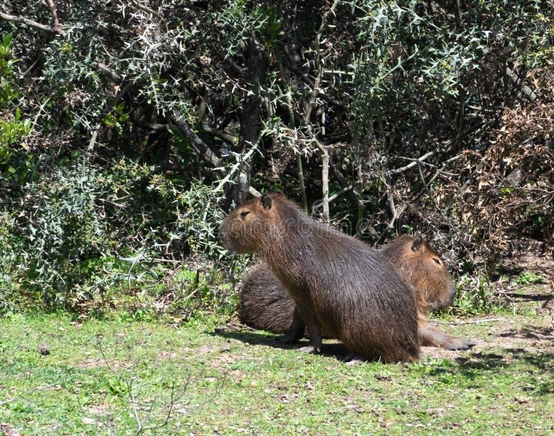 Les rongeurs géants en parc national uruguayen ont appelé le capibara photos libres de droits