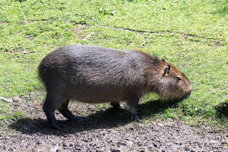 Les rongeurs géants en parc national uruguayen ont appelé le capibara image stock