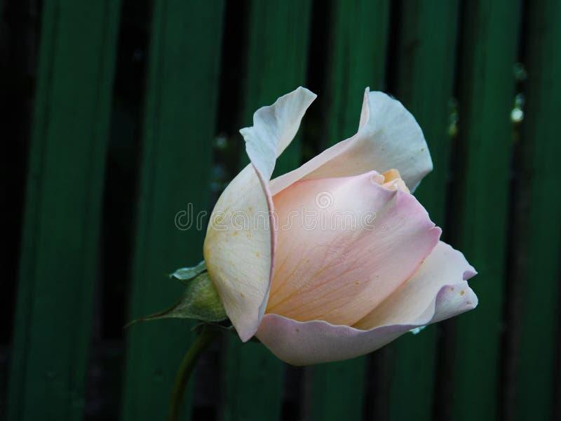 Les roses blanches image libre de droits