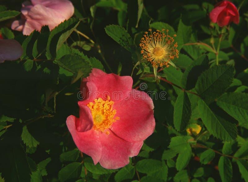 Les roses de Rugosa font bon accueil au soleil de matin photographie stock libre de droits