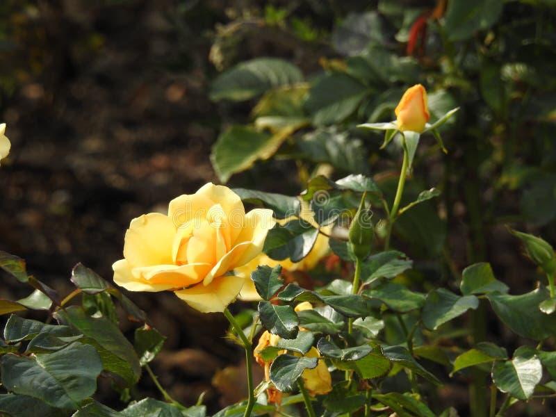 Download Les Roses En Dépit De Leurs épines Sont Des Fleurs Sensibles Qui Embaument L'environnement Photo stock - Image du appréciez, cache: 87704966