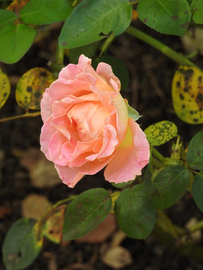 Download Les Roses En Dépit De Leurs épines Sont Des Fleurs Sensibles Qui Embaument L'environnement Photo stock - Image du exposition, rassemblement: 87704980