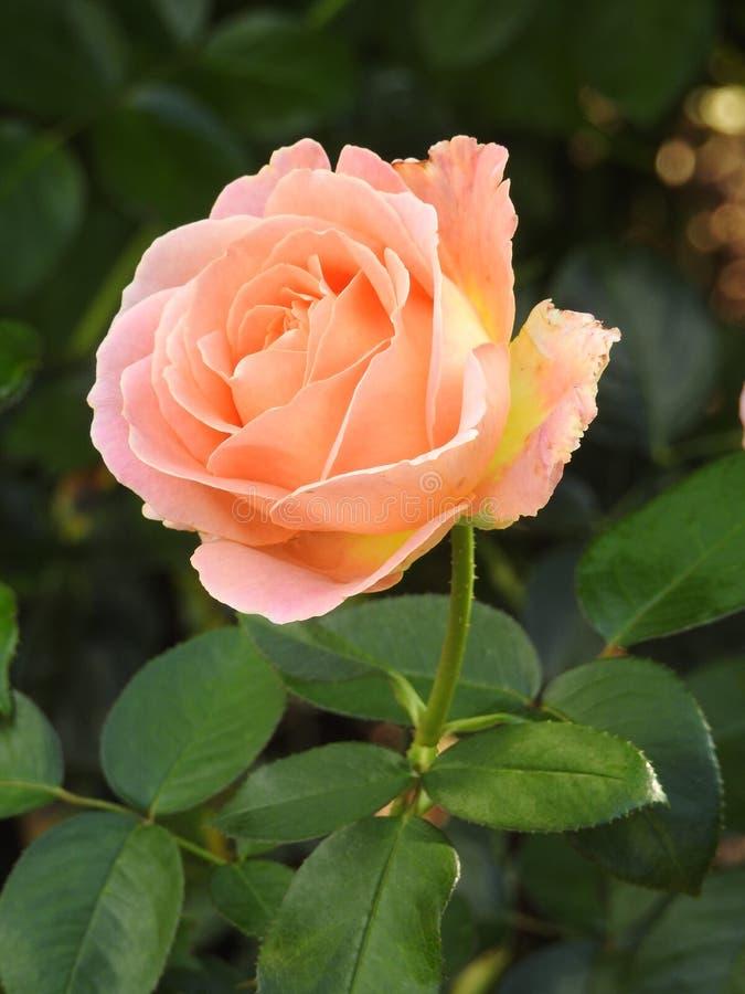 Download Les Roses En Dépit De Leurs épines Sont Des Fleurs Sensibles Qui Embaument L'environnement Image stock - Image du couleur, jardin: 87704995