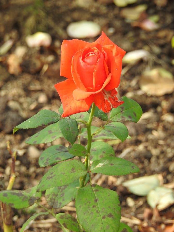 Download Les Roses En Dépit De Leurs épines Sont Des Fleurs Sensibles Qui Embaument L'environnement Image stock - Image du jardinier, jardin: 87705019