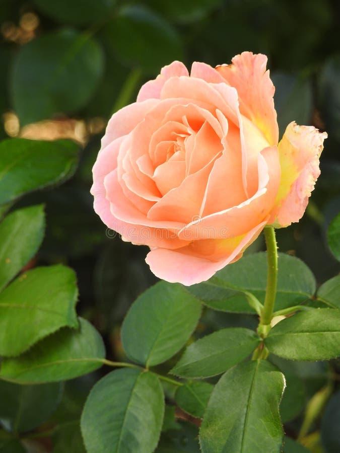 Download Les Roses En Dépit De Leurs épines Sont Des Fleurs Sensibles Qui Embaument L'environnement Image stock - Image du demi, grand: 87705027
