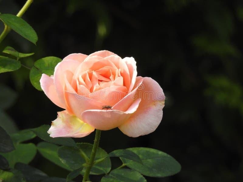 Download Les Roses En Dépit De Leurs épines Sont Des Fleurs Sensibles Qui Embaument L'environnement Photo stock - Image du beau, crise: 87705036