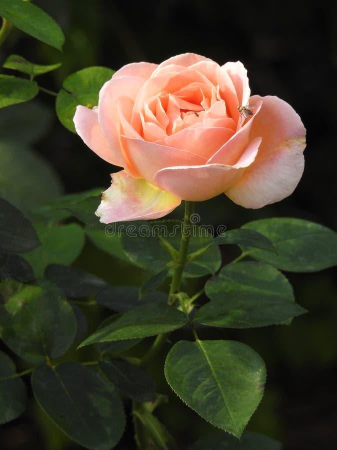 Download Les Roses En Dépit De Leurs épines Sont Des Fleurs Sensibles Qui Embaument L'environnement Image stock - Image du girlfriend, exposition: 87705041